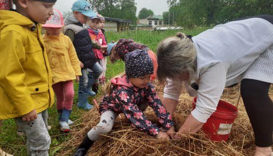 Kartupeļu stādīšana
